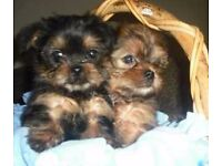 ADORABLE MINIATURE YORKIE CROSS SHIH TZU TEDDY BEAR PUPPIES FOR SALE (SHORKIES)