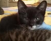 """Baby Male Cat - Domestic Short Hair-black and white: """"Echo"""""""