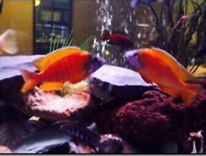 CICHLIDS!! German Reds and Otterpoint Peacocks!