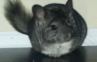 i have some chinchillas for sale 40$