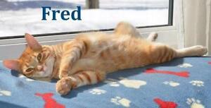 """Baby Male Cat - Domestic Short Hair: """"Fred - Purr Master!"""""""