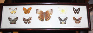 mounted butterfly collection