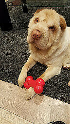 Shar Pei Bear type long coat rare breed