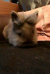 lilac doublemaned lionhead buck