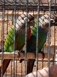 AVIARY MALE PEARLY CONURES Merrimac Gold Coast City Preview