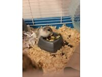 2 Russian Dwarf Hamsters