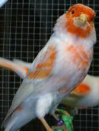 CANARIES FOR SALE FROM $25.00 EACH Doonside Blacktown Area Preview