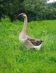 Wanted Female Chinese Goose,any sex goslings or eggs. The Oaks Wollondilly Area Preview