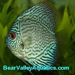 Bear Valley Aquatics