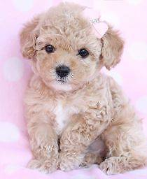 want to urgently buy a puppy Warrnambool Warrnambool City Preview