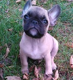 ISO Small breed French bulldog/Boston terrier/pug  Belleville Belleville Area image 1