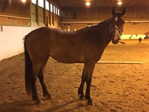 Two Exceptional Mares Available Kitchener / Waterloo Kitchener Area image 3