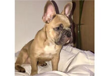 Stunning blue Fawn French Bulldog for sale