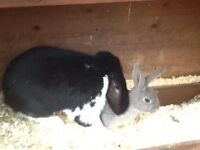 Rabbits collection only torquay