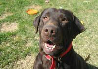 "Senior Female Dog - Labrador Retriever: ""Hope"""