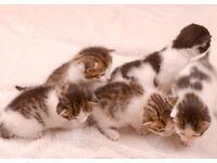 kittens for sale lovely colours only 3 boys left