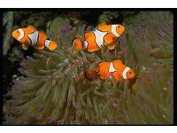 3 clown fish