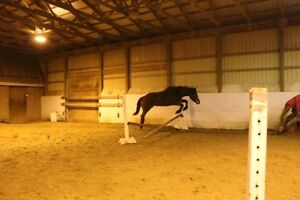 Two Exceptional Mares Available Kitchener / Waterloo Kitchener Area image 4