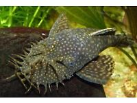 Tropical fish catfish pleco