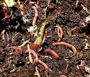 Red worms -- Healthy and Clean Pet and Fish Food
