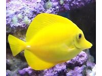 XL yellow tang for sale