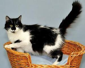 Adult Female  - Domestic Medium Hair-black and white