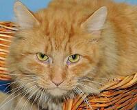 "Adult Male Cat - Tabby - Orange: ""Leo"" Ottawa Ottawa / Gatineau Area Preview"