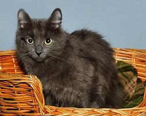 "Young Female Cat - Russian Blue-Domestic Long Hair: ""Soleil"""