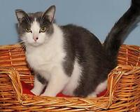 """Young Female Cat - Domestic Short Hair - gray and white: """"Grace"""" Ottawa Ottawa / Gatineau Area Preview"""