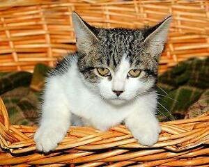 "Baby Female Cat - Tabby - white-Tabby - Brown: ""Muffin"""