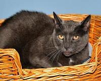 "Adult Male Cat - Russian Blue: ""Montey"""