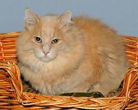 "Adult Male Cat - Domestic Long Hair - buff and white: ""Sushi"" Gatineau Ottawa / Gatineau Area Preview"