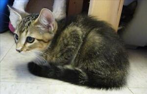 """Baby Male Cat - Domestic Short Hair: """"Barnacle"""""""