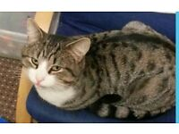 Missing grey and white tabby cat