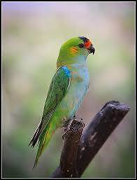 Young Male Purple Capped Lorikeet City North Canberra Preview