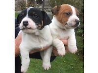Gorgeous Jack Russell Puppies