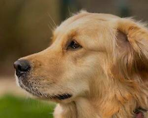 Wanted: Wanted: Adult Golden Retriever (will consider crosses)