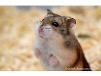russin drawf hamster