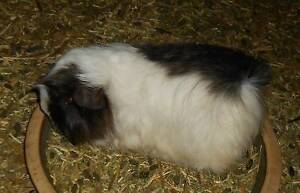 PERUVIAN FEMALE GUINEA PIG Waterford West Logan Area Preview