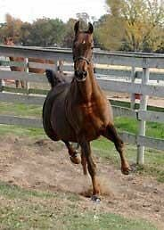 Beautiful mare available for on property lease Kingston Kingston Area image 2