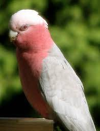 Female Galah Parramatta Parramatta Area Preview