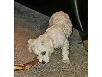 Bichon frise full pedigree with papers
