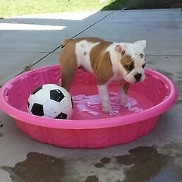 Pink dog pool - just bought and my dogs hate it