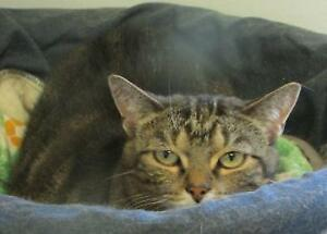 "Adult Female Cat - Tabby: ""Zinfadell"""