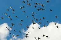Racing Pigeons for free