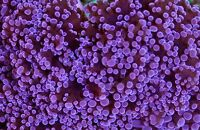 Purple frogspawn, 2 heads for trade for another coral