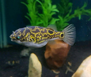 Figure 8 puffer fish / dragon goby