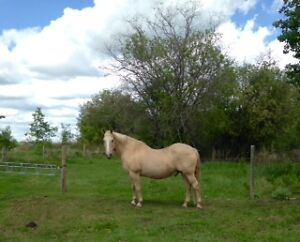 Bomb proof gelding for lease