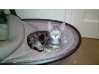 Female Tabby Kitten 3 Months Old Cat Ready for new home