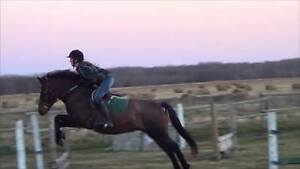 EXPERIENCED DRESSAGE & JUMPING PONY MARE